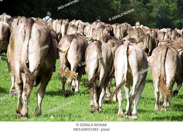 Germany, Bavaria, Allgäu, Cattle herd