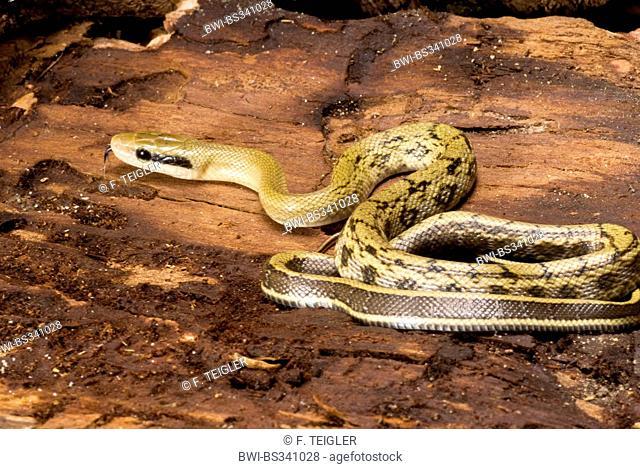Taiwan beauty snake, Beauty Snake (Elaphe taeniura, Orthriophis taeniurus taeniurus), rolled-up