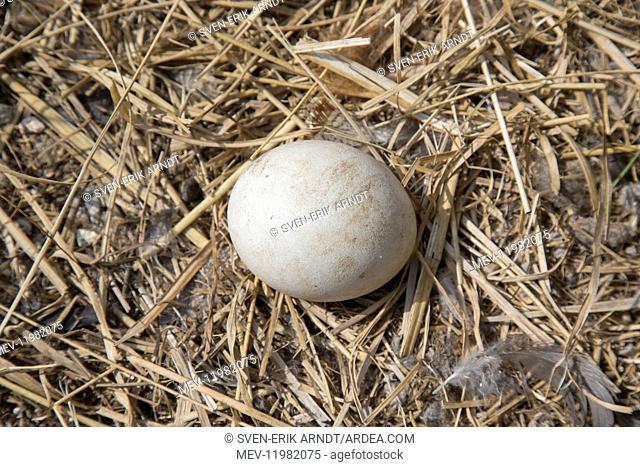 Eurasian Eagle-Owl - egg in nest - Sweden