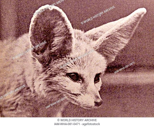 Photographic portrait of the head of a Fennec fox, a small nocturnal fox found in the Sahara, North Africa. Dated 20th Century