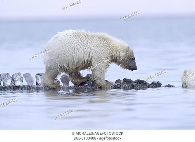 United States, Alaska, Arctic National Wildlife Refuge, Kaktovik, Polar Bear( Ursus maritimus ), baby along a barrier island outside Kaktovik, Alaska