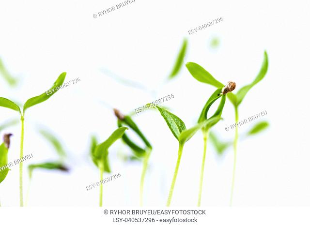 Green Sprout Growing From Seed Isolated On White Background. Spring Symbol, Concept Of New Life