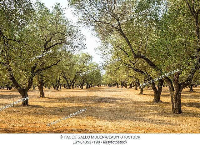 Italy, Puglia region, south of the country. Traditional plantation of olive trees