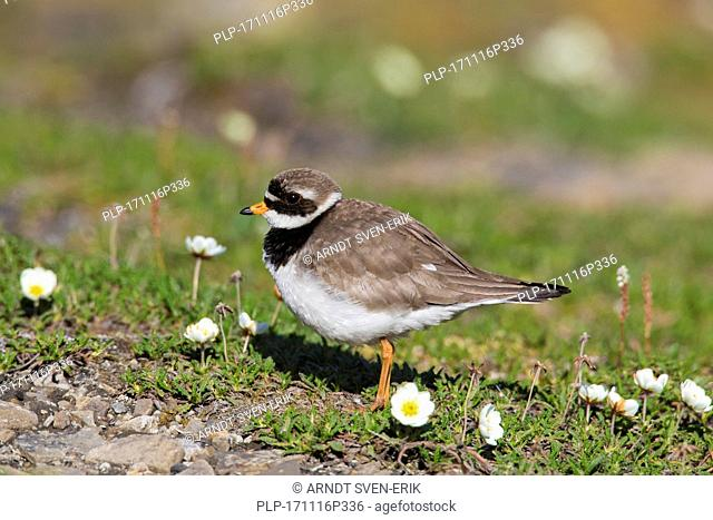 Common ringed plover (Charadrius hiaticula) in breeding plumage foraging on the tundra in summer, Svalbard / Spitsbergen, Norway