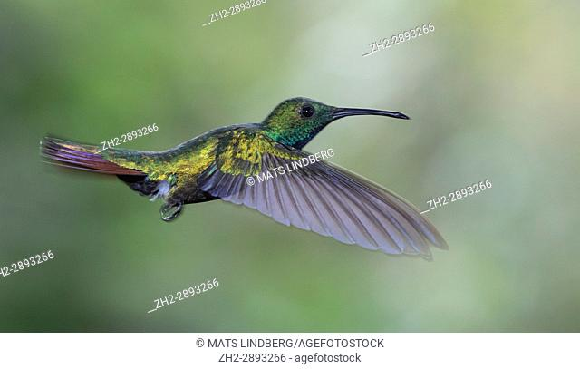 Male Green-breasted mango, Anthracothorax prevostii hovering, Laguna del Lagarto, Boca Tapada, San Carlos, Costa Rica