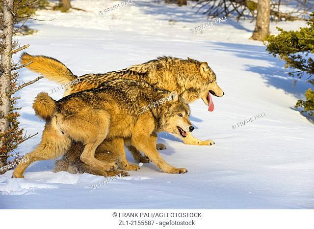 Grey Wolf Timber Wolf (Canis lupus), Bozeman, Montana, USA