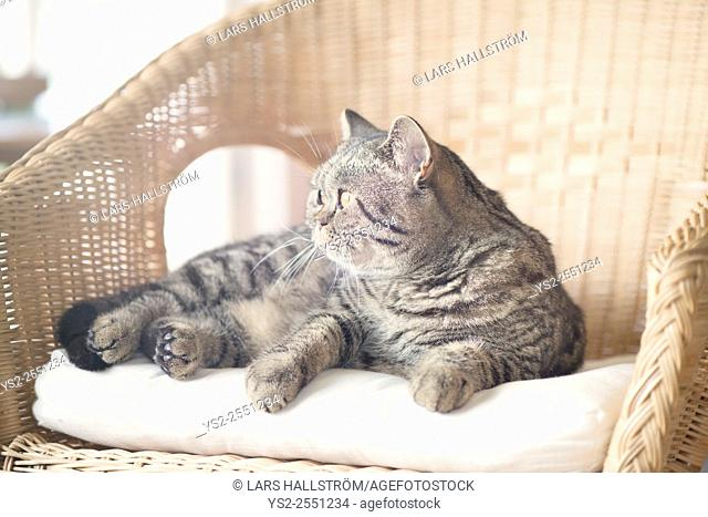 British shorthair cat lying in wicker chair looking away. Curious pet at home