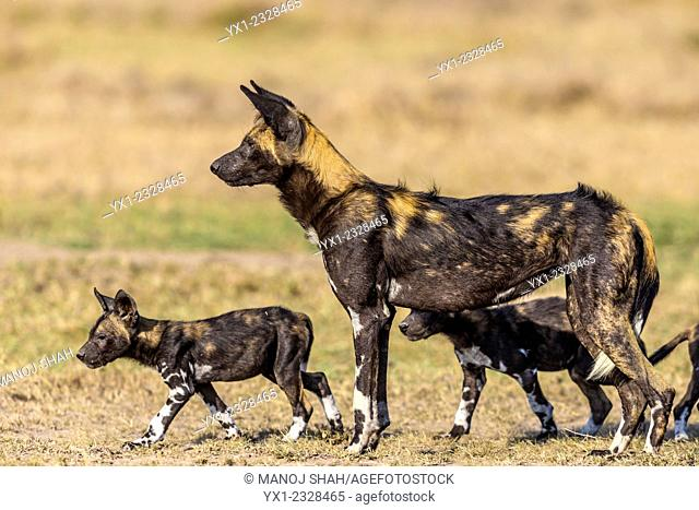 African Wild Dog with puppies