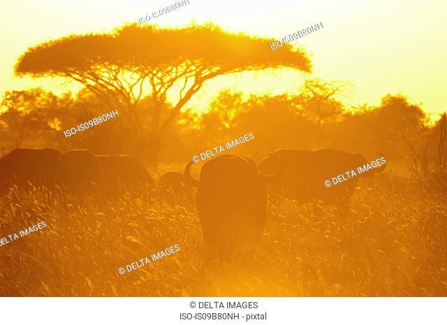 African Buffalo (Syncerus caffer) at sunset, Lualenyi Game Reserve, Tsavo, Kenya