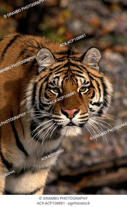 Portrait of a young Siberian tiger, Panthera tigris altaica