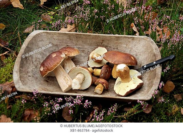 Penny bun (Boletus edulis), edible fungi