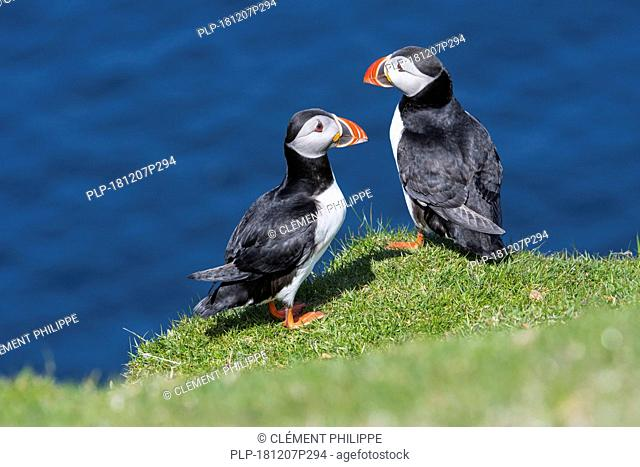 Two Atlantic puffins (Fratercula arctica) in breeding plumage on sea cliff top in seabird colony, Hermaness, Unst, Shetland Islands, Scotland, UK