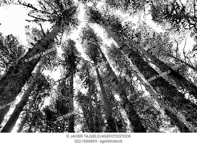 Pine, Pinus sylvestris, Teruel, Aragon, Spain