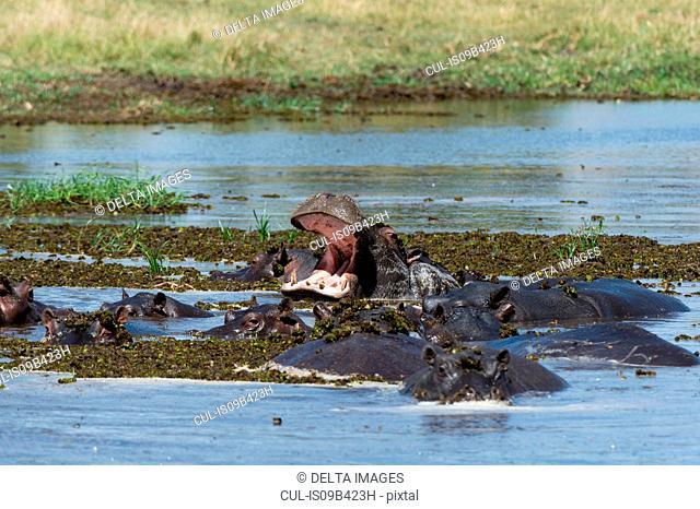 Hippopotamus (Hippopotamus amphibius) wallowing in river with mouth open, Khwai concession, Okavango delta, Botswana