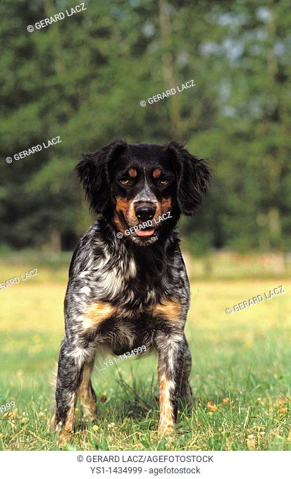 BRITTANY SPANIEL DOG, ADULT STANDING ON GRASS