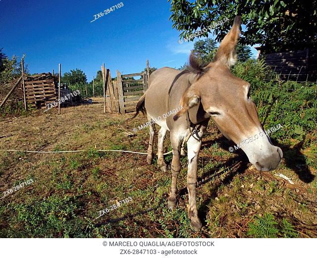 Donkey. Hortasan organic farm at Feal, San Mamede de Ribadulla Parish, Vedra Council. A Coruña province near Santiago de Compostela city