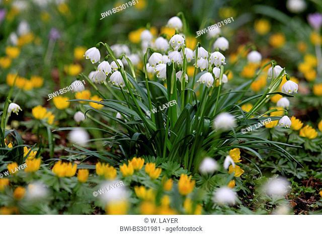 spring snowflake (Leucojum vernum), amongst blooming winter aconites, Germany