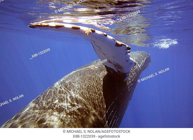 Curious sub-adult female humpback whale Megaptera novaeangliae reaching out with her pectoral fin and interacting by rolling and approaching time and again in...