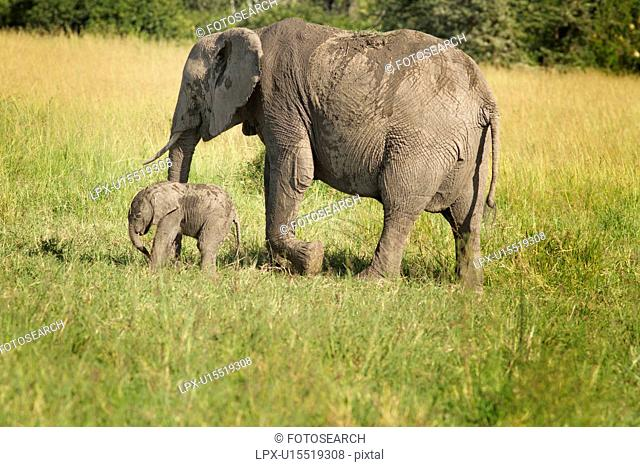 Adult elephant with very young baby elephant, side view as they walk in long grass, with woodland beyond, Maasai Mara, Kenya