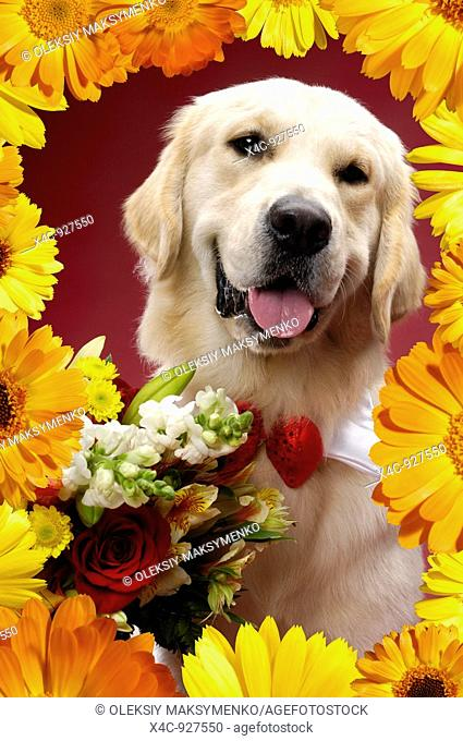 Portrait of One year old Golden Retriever with flowers surrounded by a floral frame  Isolated on white background  Brody - Gray Valley Kennels - Toronto
