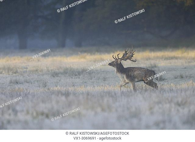 Fallow Deer (Dama dama), strong stag, walking over a natural hoarfrost covered meadow, in first morning light, soft colours, Germany, Europe