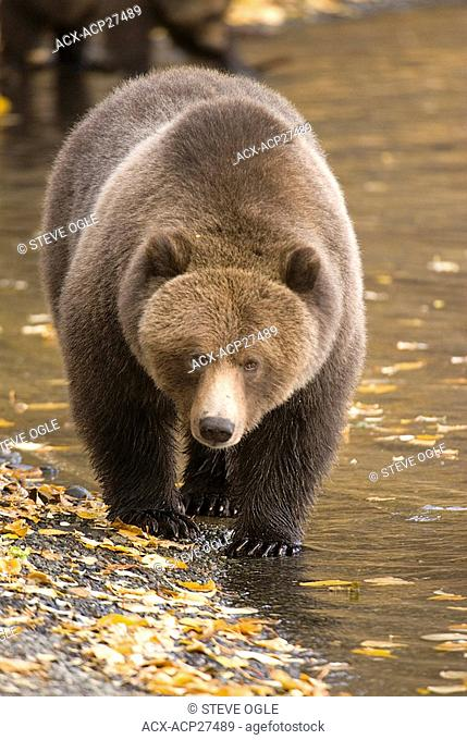 A Grizzly Bear walks along the shoreline of the Chilko River, British Columbia, Canada