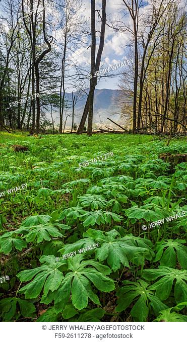 Mayapple in the spring landscape in Cades Cove, Tennessee, USA