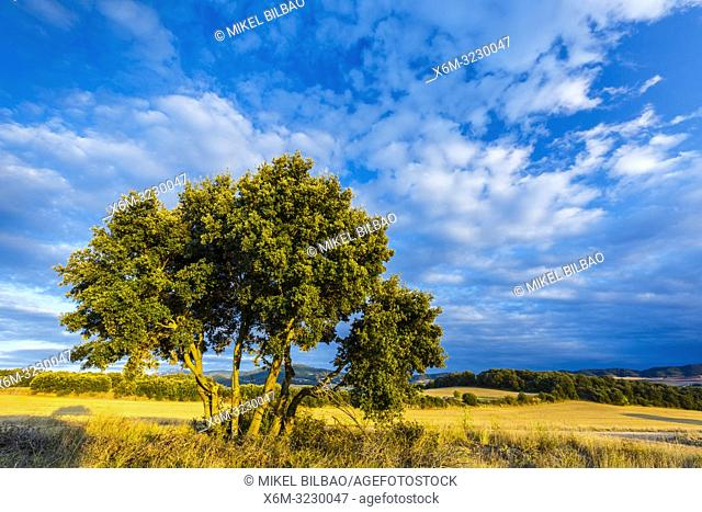 Oak and clouds. Mendilibarri village (Ancin). Tierra Estella county. Navarre, Spain, Europe