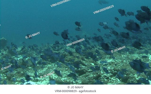 thousands of trigger fish. Maldives, Indian Ocean