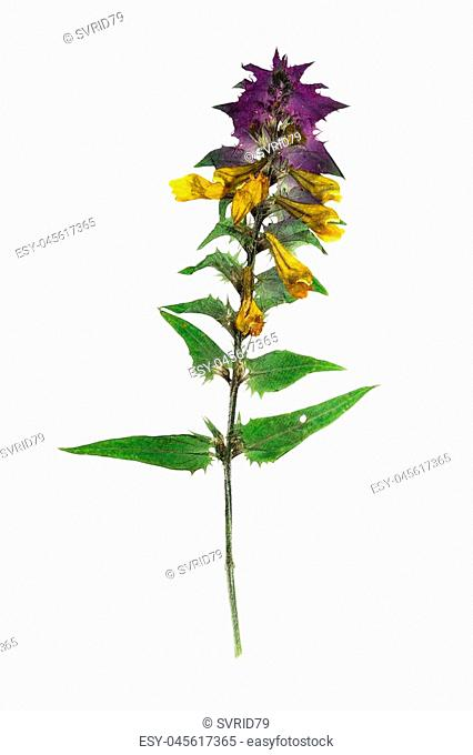 Pressed and dried flowers melampyrum nemorosum. Isolated on white background. For use in scrapbooking, floristry (oshibana) or herbarium