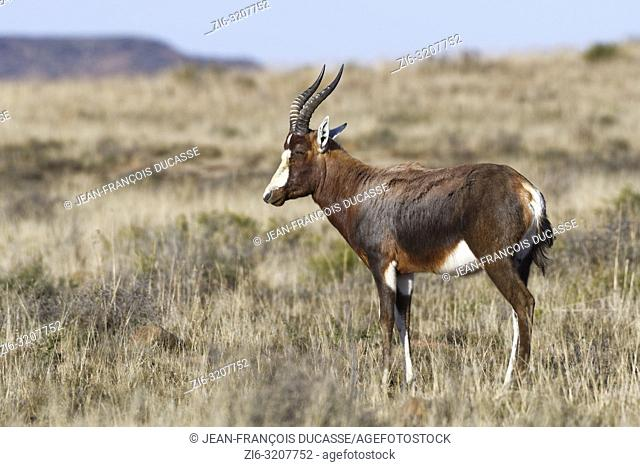 Blesbok (Damaliscus pygargus phillipsi), adult, standing in open grassland, alert, Mountain Zebra National Park, Eastern Cape, South Africa, Africa