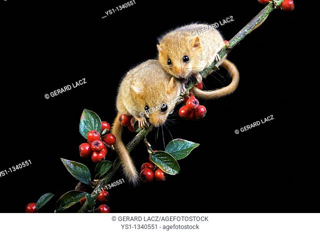 COMMON DORMOUSE muscardinus avellanarius, ADULTS STANDING ON BRANCH, NORMANDY IN FRANCE