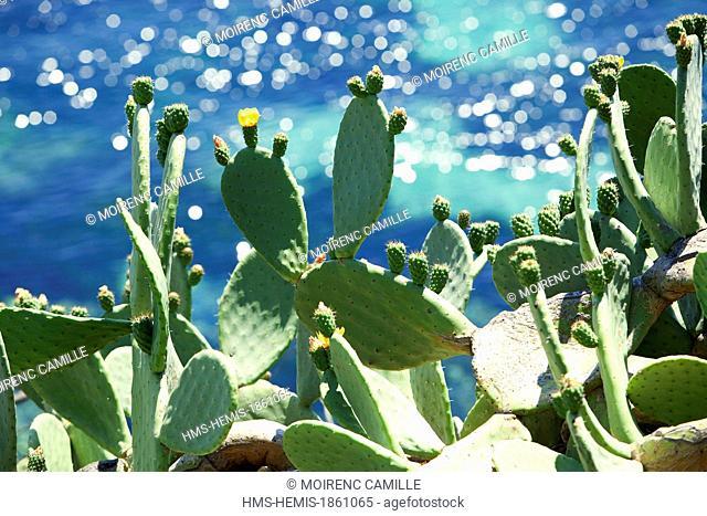 France, Var, Corniche des Maures, Le Lavandou, tip Layet, prickly pear (Opuntia ficus indica)