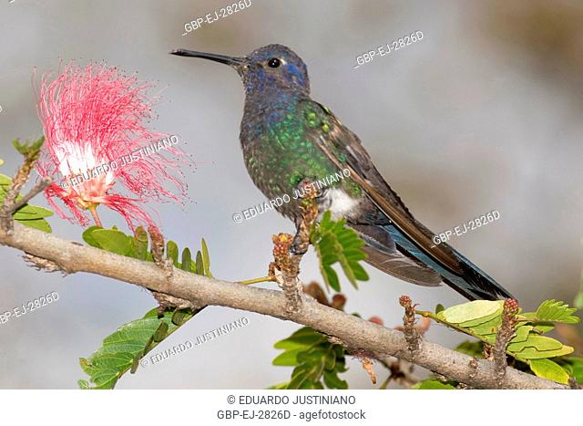 Hummingbird, Hummingbird, Distrito Federal, Brasília, Brazil