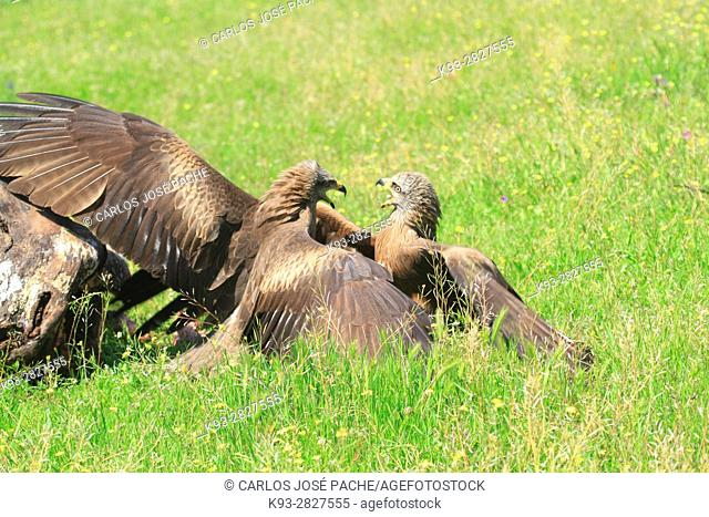 Pelea de Milanos negros (milvuls migrans) Parque Nacional de Monfrague, Extremadura, Spain