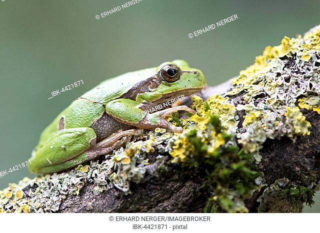 Tree frog (Hyla arborea) on mossy branch, Rhineland-Palatinate, Germany