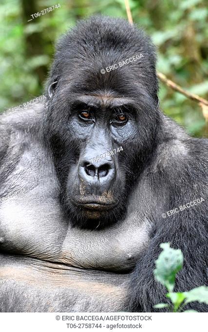 Silverback eastern lowland gorilla portrait (Gorilla beringei graueri) in the equatorial forest of Kahuzi Biega National Park