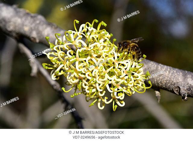 Jarnockmert (Hakea recurva) is a big shrub or small tree native to western Australia. Flowering plant