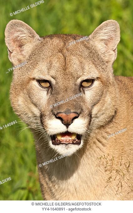 Mountain lion, Felis Puma concolor, native to Canada, the USA, Mexico, Central and South America