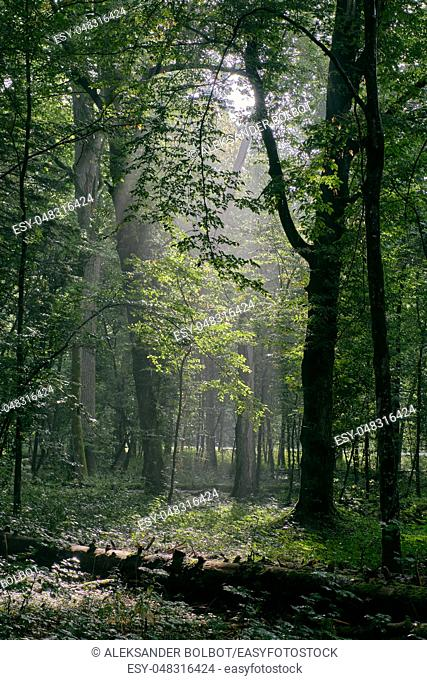 Deciduous stand with hornbeams and oak in summertime misty morning, Bialowieza Forest, Poland, Europe