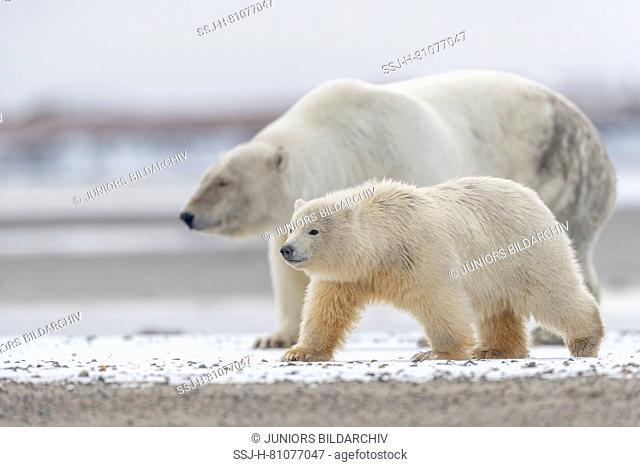 Polar Bear (Ursus maritimus, Thalarctos maritimus). Mother with cubs walking on a barrier island. Kaktovik, Alaska. Every fall polar bears gather near Kaktovik...