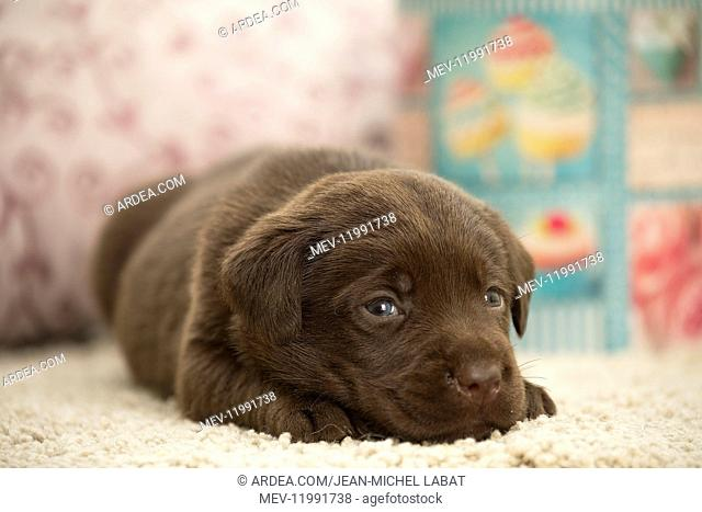 Chocolate Labrador Dog, puppy