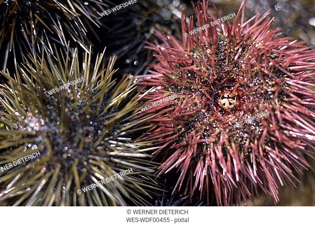 France, Provence, Sea urchins, close up
