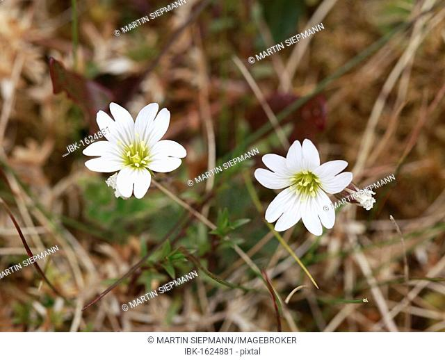 Greater Stitchwort (Stellaria holostea), Ireland, Europe