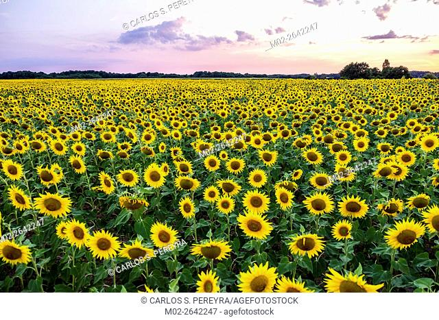 Field of blooming sunflowers in Loire Valley, France, Europe
