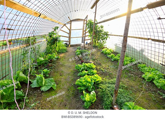 garden lettuce (Lactuca sativa), garden lettuce and Endives in a greenhouse, Austria, Styria