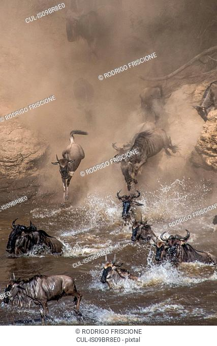 Wildebeest on yearly migration launching across Mara River, Southern Kenya