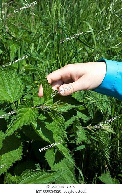 Touching stinging nettle leaves