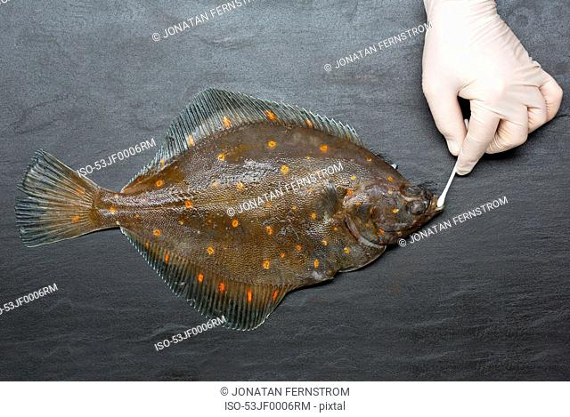 Gloved hand wiping fish with cotton bud