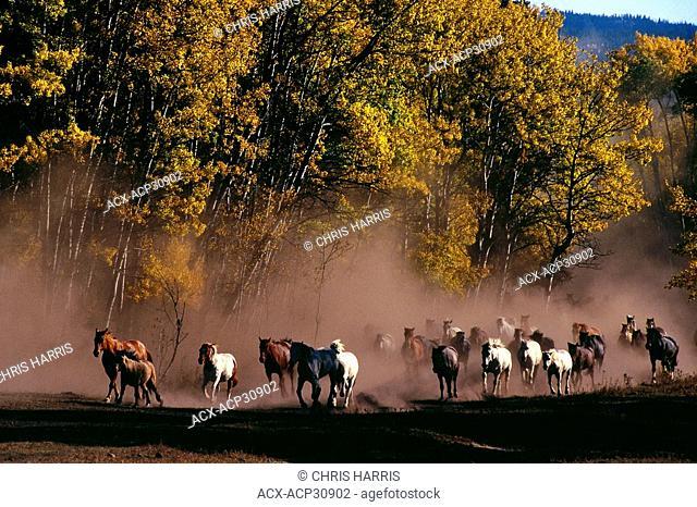 Horse Equus ferus caballus stampede in the Cariboo Region, British Columbia, Canada